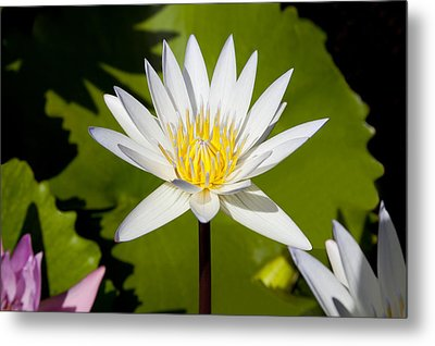White Lotus Metal Print by Kelley King
