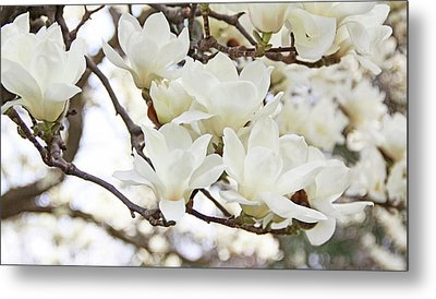 White Magnolias Metal Print by Becky Lodes