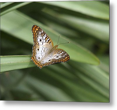 White Peacock Butterfly. Metal Print by Chris  Kusik