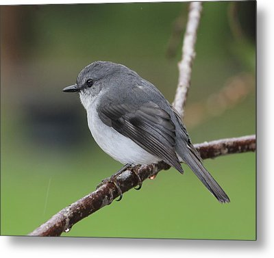 Metal Print featuring the photograph White Robin by Serene Maisey
