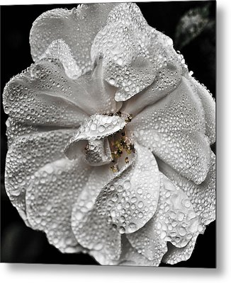 Metal Print featuring the photograph White Rose After Rain by Ronda Broatch