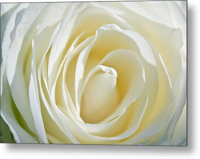 Metal Print featuring the photograph White Rose by Ann Murphy
