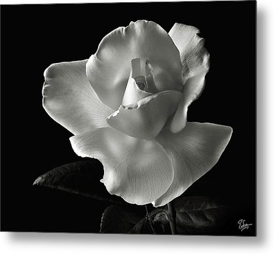 Metal Print featuring the photograph White Rose In Black And White by Endre Balogh