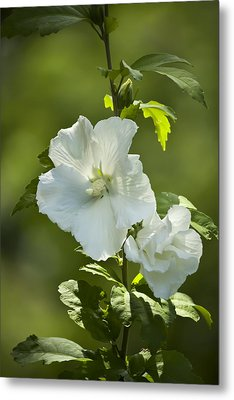 White Rose Of Sharon Metal Print by Teresa Mucha