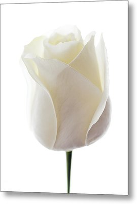 White Rose (rosa Sp.) Metal Print by Gavin Kingcome