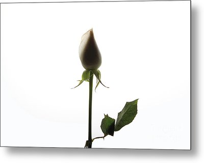 White Rose With Shadow Metal Print by Zafer GUDER