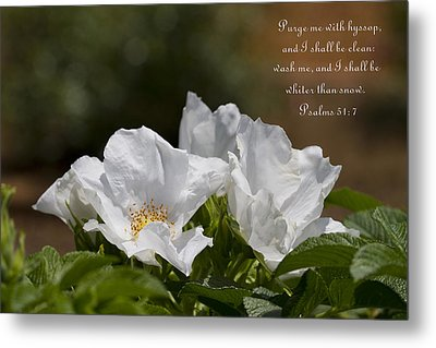 White Roses - Purge Me With Hyssop Metal Print by Kathy Clark
