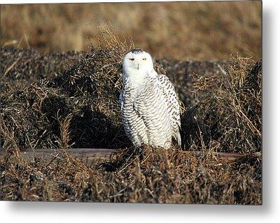 White Snowy Owl Metal Print by Pierre Leclerc Photography