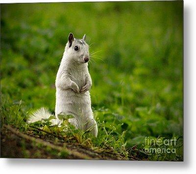 White Squirrel Metal Print by JK York