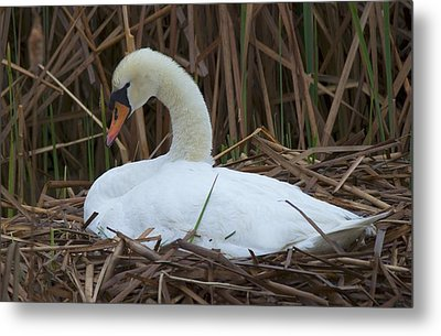 White Swan Metal Print