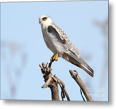 White-tailed Kite Hawk Perched . 7d11090 Metal Print by Wingsdomain Art and Photography
