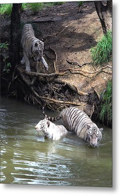 White Tigers In Water Pond Metal Print by Johnson Moya