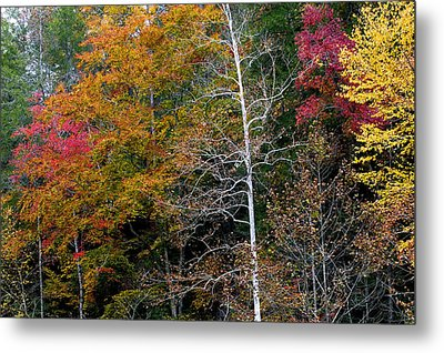 White Tree Fall Colors  Metal Print by Rich Franco