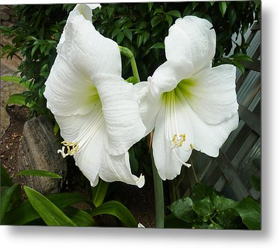 White Twins Metal Print by Jeanette Oberholtzer