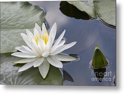 White Water Lily Metal Print by Vladimir Sidoropolev