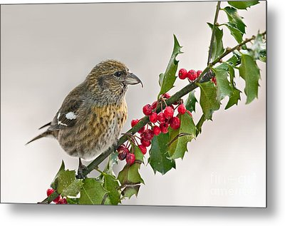 White-winged Crossbill On Holly Branch Metal Print by Jean A Chang