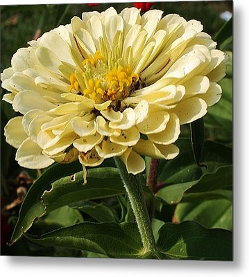 White Zinnia Metal Print by Bruce Bley