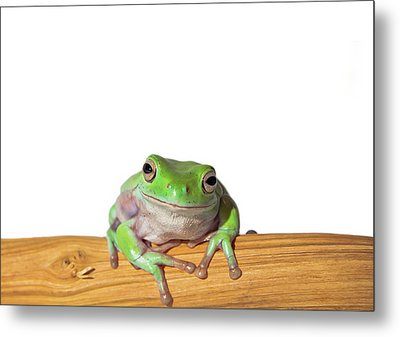 Whites Tree Frog Metal Print by Www.tommaddick.co.uk