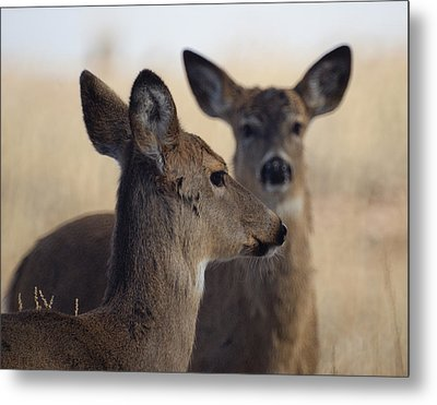 Whitetail Deer Metal Print by Ernie Echols