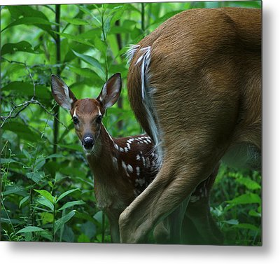Whitetail Fawn Metal Print