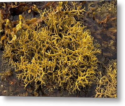 Wig-wrack Seaweed Metal Print by Bob Gibbons