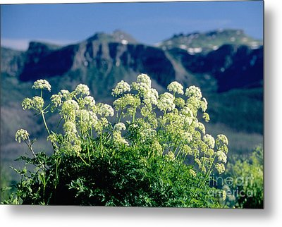 Wild Angelica Metal Print by James Steinberg and Photo Researchers