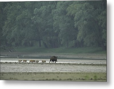 Wild Boar And Her Piglets Running Metal Print by Klaus Nigge