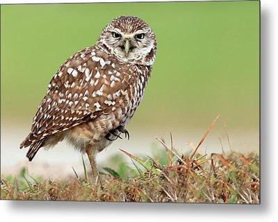 Wild Burrowing Owl Balancing On One Leg Metal Print by Mlorenzphotography