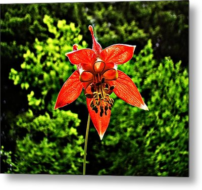 Metal Print featuring the photograph Wild Columbine Singlet by Nick Kloepping