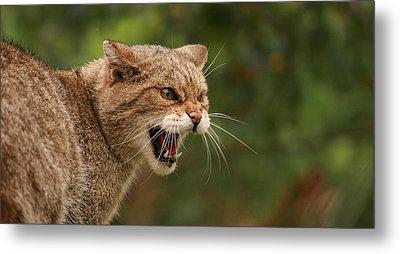 Wild Highland Cat Metal Print by Jacqui Collett