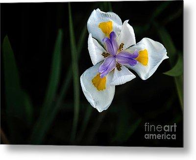 Wild Iris Metal Print by Kaye Menner