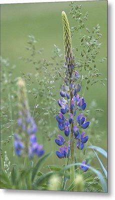 Wild Lupine Flower Metal Print