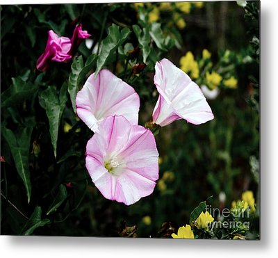 Wild Morning Glories Metal Print by Laura Iverson