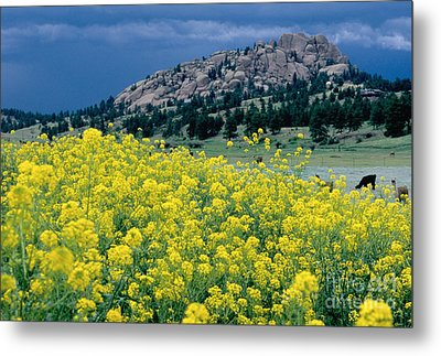 Wild Mustard Metal Print by James Steinberg and Photo Researchers