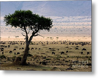Wildebeest Connochaetes Taurinus Grazing Metal Print by Gregory G. Dimijian, M.D.