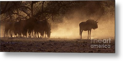 Metal Print featuring the photograph Wildebeests In The Dust - Botswana by Craig Lovell