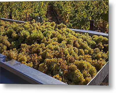 Wine Harvest Metal Print by Garry Gay