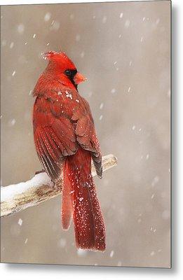Winter Cardinal  Metal Print by Mircea Costina Photography