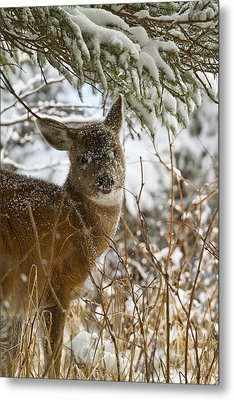 Winter Dining For A Black-tailed Deer Metal Print by Tim Grams