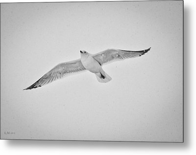 Metal Print featuring the photograph Winter Gull by Kevin Munro