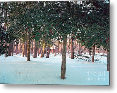 Winter Holly Metal Print by George Oze