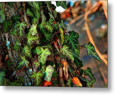 Metal Print featuring the photograph Winter Ivy by Mike Flynn