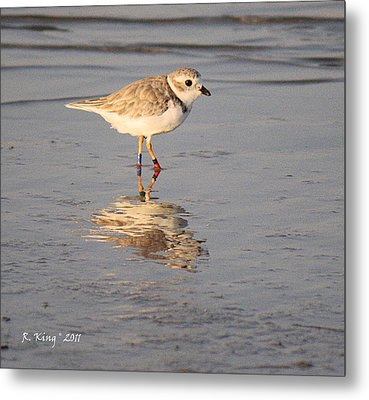 Winter Piping Plover Banded 2 Metal Print by Roena King