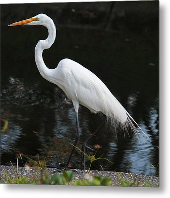 Wispy Feathers Of A White Heron Metal Print by Becky Lodes