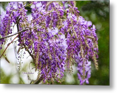 Metal Print featuring the photograph Wisteria by Joan Bertucci