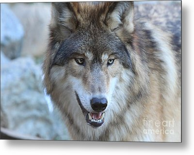 Wolf Metal Print by Kate Purdy
