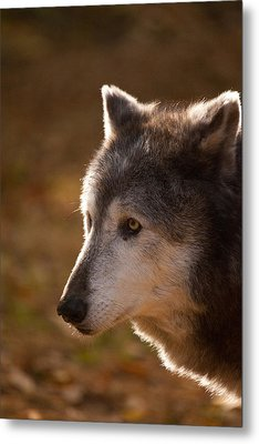 Wolf Outlined By The Sun Metal Print by Karol Livote