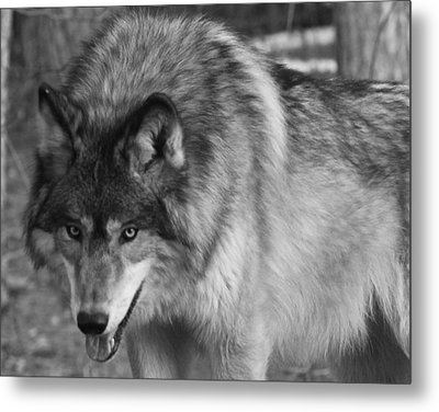 Wolf Stare Metal Print by Kate Purdy