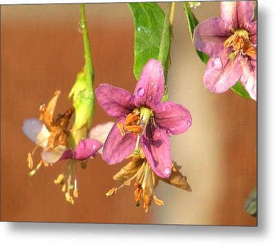 Wolfberry Flower Metal Print by Alfred Ng