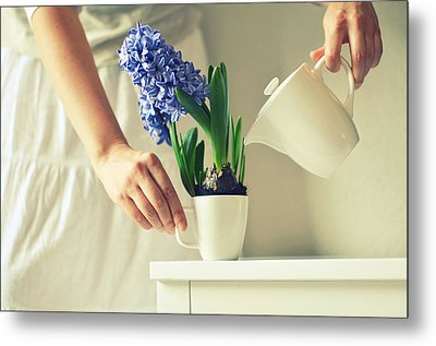 Woman Watering Blue Hyacinth Metal Print by Photo by Ira Heuvelman-Dobrolyubova